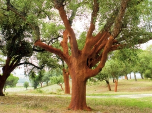 cork-tree-001